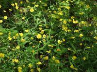 i:многолетние,s:травянистые,c:желтые,лепестков 5,h:до 50 см,i:ядовитые