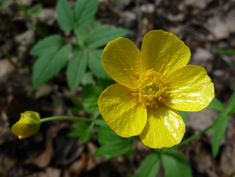 Лютик едкий (Ranunculus acris). Автор фото: Наталия Панкова