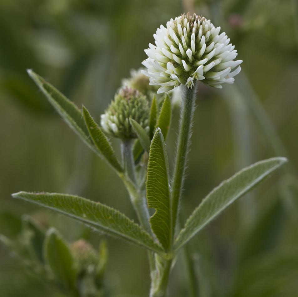 Клевер горный (Trifolium montanum). Автор фото: Наталия Панкова