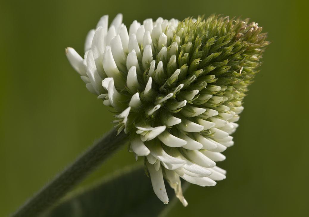 Клевер горный (Trifolium montanum) Автор фото: Наталия Панкова