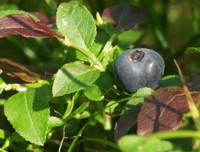 Vaccinium myrtillus. Автор фото: Наталия Панкова