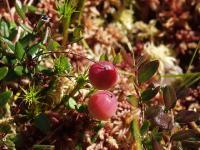 s:вечнозелёные,s:кустарнички,ягоды красные,ягоды съедобные,d:в болотах,l:очередные,l:яйцевидные,c:пурпурные,c:розовые,i:лекарственные,d:на сфагновых болотах