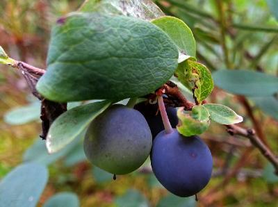 Голубика (Vaccinium uliginosum). Автор фото: Наталия Панкова