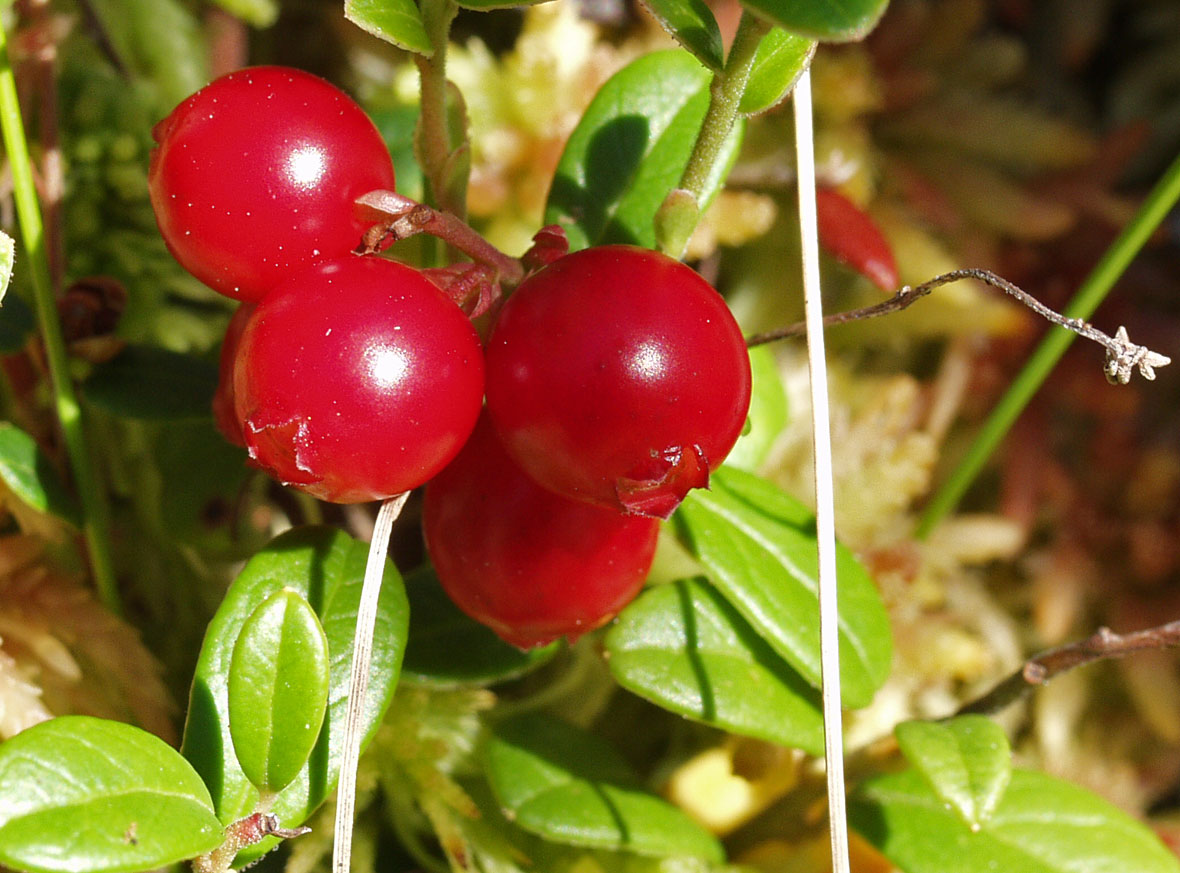 Vaccinium vitis-idaea. Автор фото: Наталия Панкова