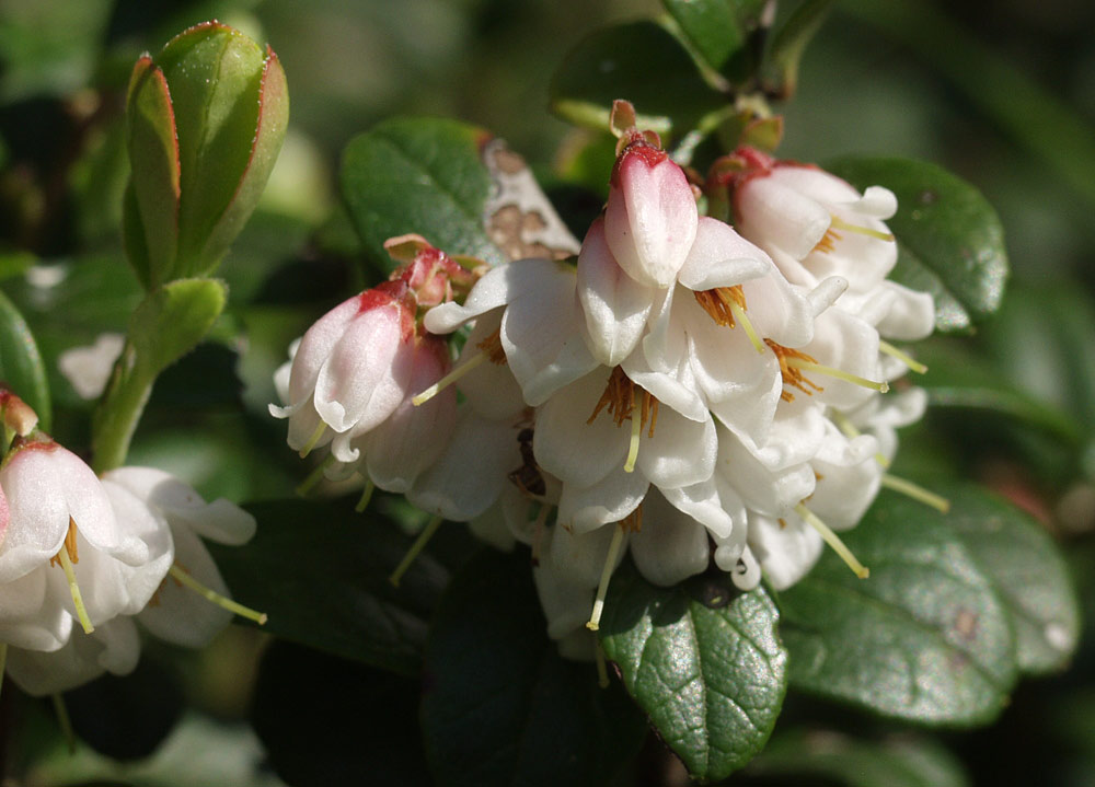 Цветы брусники (Vaccinium vitis-idaea). Автор фото:Наталия Панкова