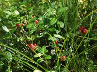 s:кустарнички,s:зимнезелёные,h:до 15 см,c:белые,ягоды красные,i:лекарственные,ягоды съедобные,l:очередные,l:эллиптические