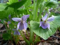 s:травянистые,c:синие,c:голубые,i:многолетние,h:до 15 см,корневище короткое,l:очередные,l:прикорневые,l:длинночерешковые,f:коробочка,d:на лугах,d:на опушках