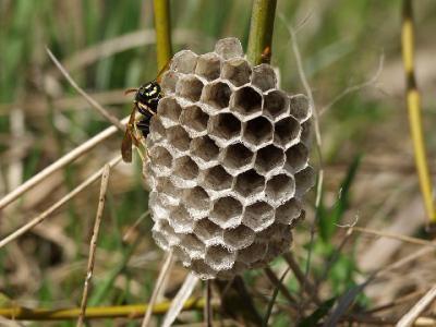 Бумажная оса строит гнездо. Автор фото: Наталия Панкова
