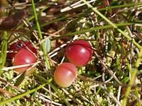 Клюква (cranberries)