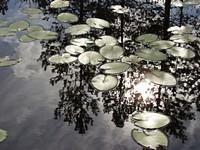 Листья кувшинок на Светике (Lake Svetik)