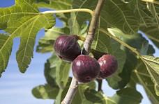 Инжир (figs)