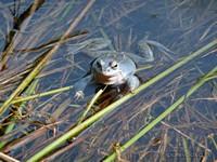 Самец остромордой лягушки в брачном наряде