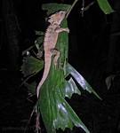 Nightwalk. Boyd's Forest Dragon.
