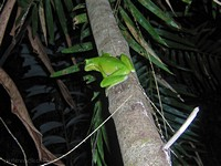Nightwalk. White Lipped Treefrog.