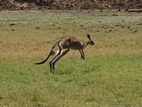 Прыжок серого кенгуру