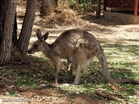 Серые кенгуру. Мама и дитя.