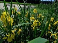 s:травянистые,s:водные,b:прямостоячий,l:очередные,l:по длине стебля,l:простые,l:линейные,c:желтые,c:5 см и более,лепестков 6,f:коробочка,d:по берегам рек и ручьев,i:декоративные,i:культивируемые,i:редкие и охраняемые