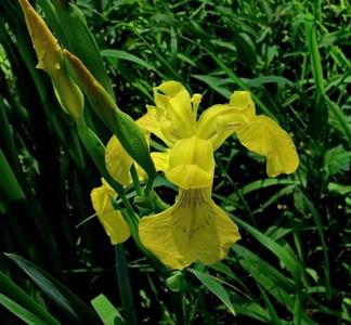 Ирис ложноаирный (Iris pseudacorus) Автор фото: Детинова Наталия