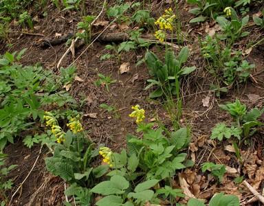 Первоцвет весенний (Primula veris) Автор фото: Детинова Наталия
