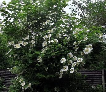 Калина обыкновенная (Viburnum opulus) Автор фото: Детинова Наталия