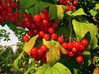 s:листопадные кустарники,c:белые,ягоды красные,b:прямостоячий,околоцветник актиноморфный,околоцветник сростнолепестный,лепестков 5,i:декоративные,i:культивируемые,i:лекарственные,i:съедобные