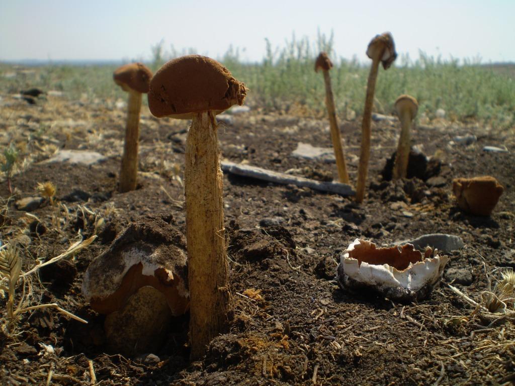 Battarrea phalloides. Автор фото: Юрий Ребриев