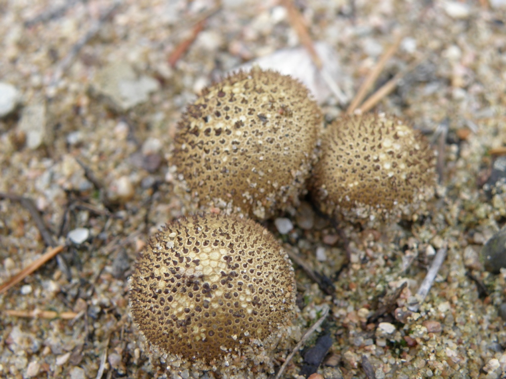 Lycoperdon nigrescens. Автор фото:Юрий Ребриев