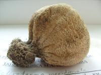 Scleroderma septentrionale