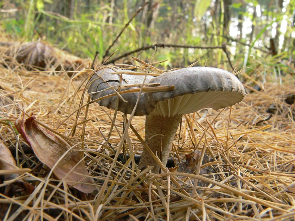 Снято осенью (конец октября 2011) в лиственничном лесу на юге Раменского района Московской области Автор фото: Андрей Смирнов