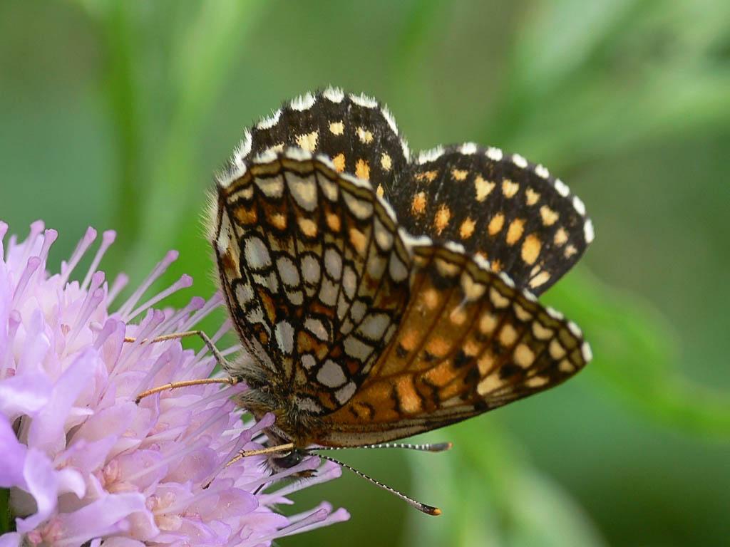 Шашечница черноватая (Melitaea diamina). Автор фото:Андрей Смирнов