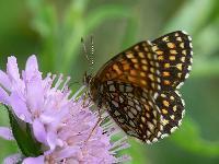 Шашечница черноватая (Melitaea diamina)