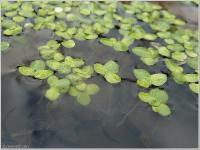 s:водные,c:зеленые,l:овальные