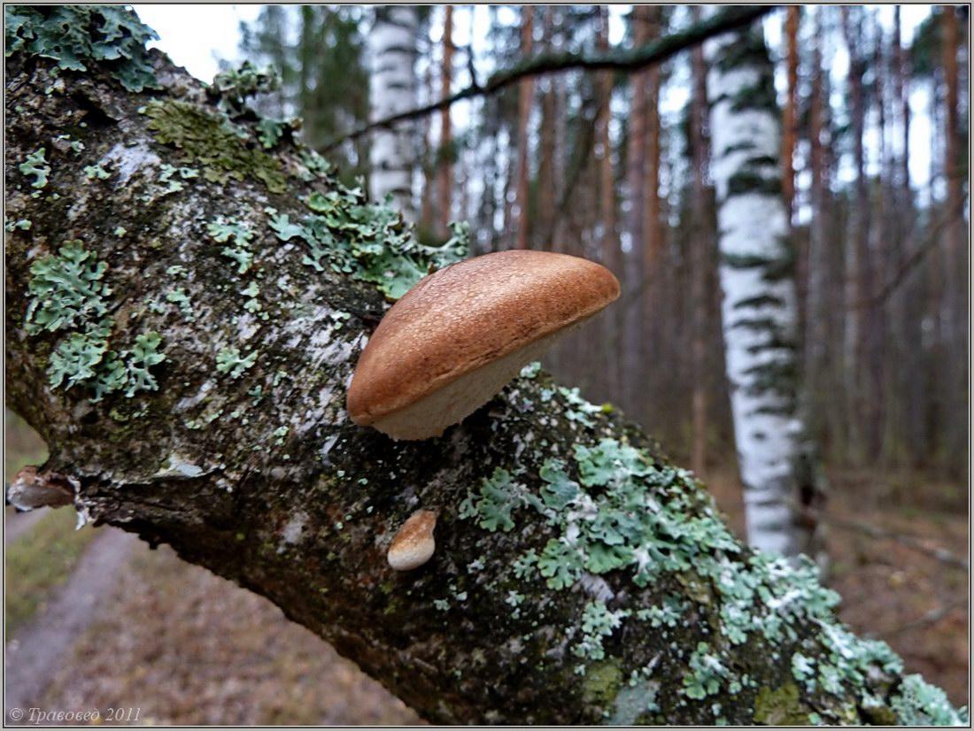 Piptoporus betulinus. Автор фото:Сергей Апполонов