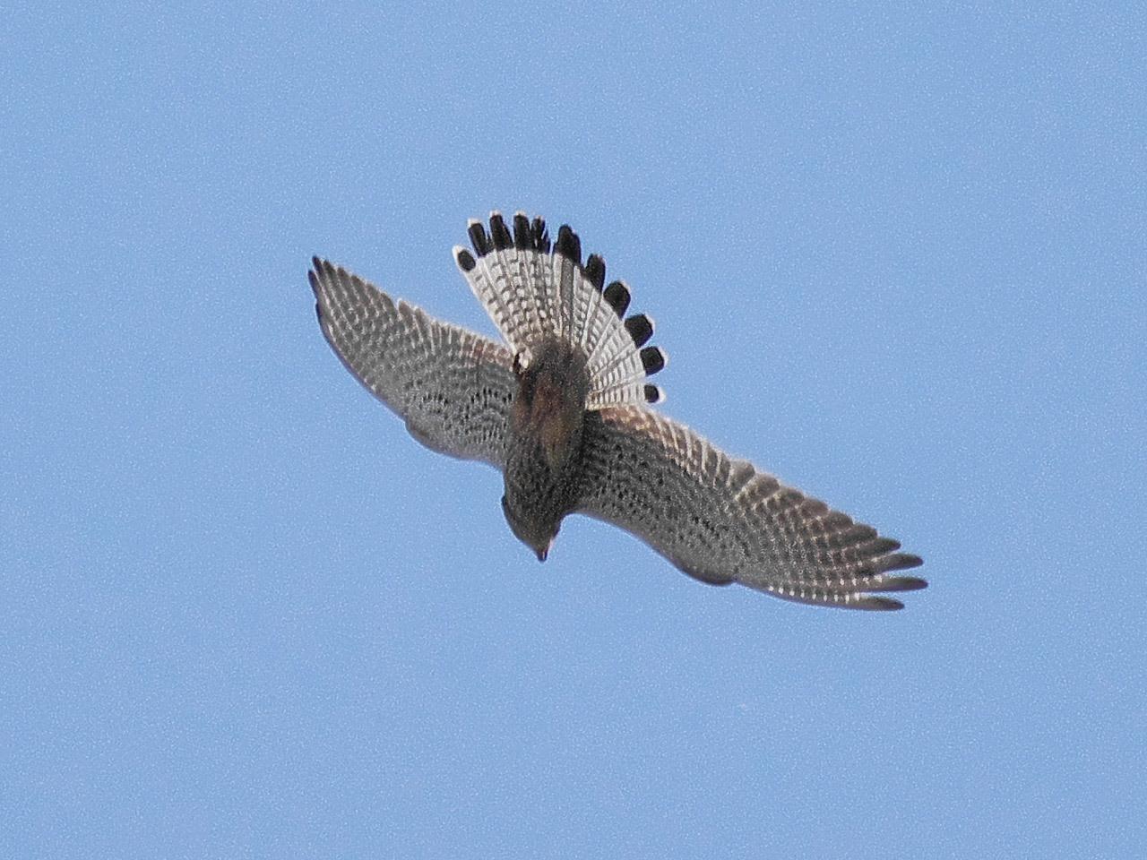 Обыкновенная пустельга (Falco tinnunculus). Автор фото: Юрий Семенов