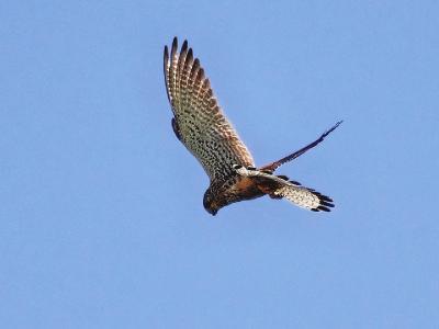 Обыкновенная пустельга (Falco tinnunculus). Это характерная поза пустельги с опущенным хвостом, когда она зависает над добычей. В поле она ловит мышей. А подлые вороны, которые размером покрупнее будут, не упускают случая, чтобы атаковать пустельгу в воздухе и отобрать пойманный трофей (пустельга выпускает мышь из когтей, а вороны ее потом подбирают).  Автор фото: Юрий Семенов
