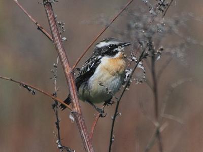 Луговой чекан (Saxicola rubetra). Чекан – довольно многочисленная птичка на нашем поле, часто слышится над травой его «чиканье». Довольно осторожная птица, близко к ней не подойдешь. Автор фото: Юрий Семенов