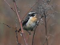 Луговой чекан (Saxicola rubetra)Луговой чекан (Saxicola rubetra). Чекан – довольно многочисленная птичка на нашем поле, часто слышится над травой его «чиканье». Довольно осторожная птица, близко к ней не подойдешь.