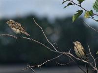 Луговой чекан (Saxicola rubetra)Луговой чекан (Saxicola rubetra). «Вернись, я все прощу!». На самом деле, справа – молодой чекан на прогулке.