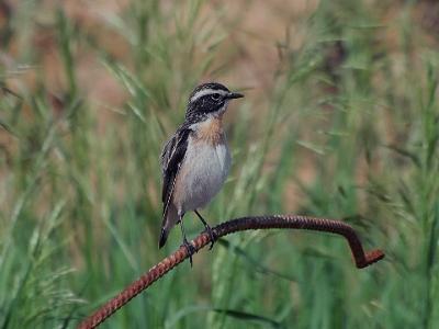Луговой чекан (Saxicola rubetra). Бдительный чекан часто вытягивает шею при наблюдении.  Автор фото: Юрий Семенов