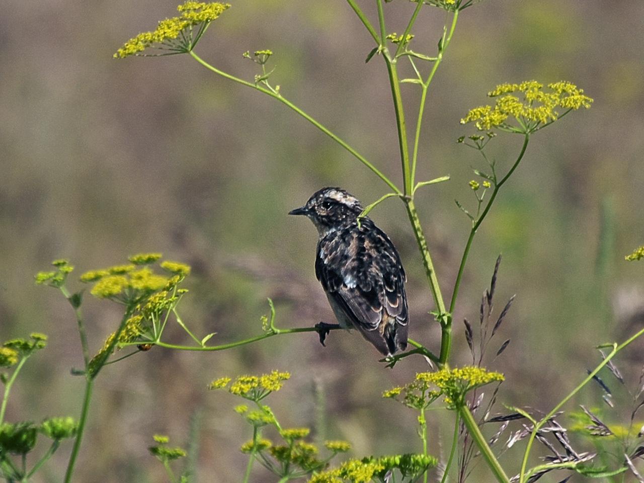 Луговой чекан (Saxicola rubetra). Автор фото: Юрий Семенов