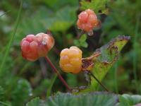 i:Красная книга МО,i:многолетние,s:травянистые,ягоды съедобные,h:до 30 см,c:белые,f:костянка,ягоды оранжевые,корневище ползучее,корневище тонкое,b:прямостоячий