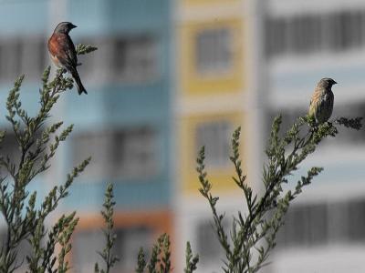 Коноплянка (Acanthis cannabina). Парочка коноплянок – слева самец с коричневой спиной, справа – самка с более бледным, пестрым окрасом. Их в поле несколько семей, но селятся далеко от тропы и близко к себе они не подпускают. Автор фото: Юрий Семенов