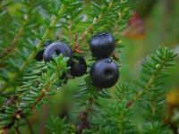 ягоды черные,d:на каменистых склонах,s:вечнозелёные,s:мелкие кустарники,ягоды съедобные,l:очередные,l:мелкие