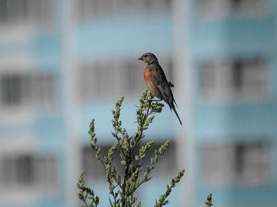 Коноплянка (Acanthis cannabina). В профиль у самца видна красная грудь. Автор фото: Юрий Семенов