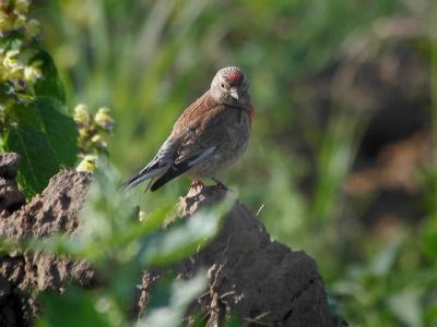 Коноплянка (Acanthis cannabina). Молодой коноплянчик похож на чечетку, но спина у него коричневая. Автор фото: Юрий Семенов