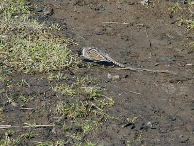 Камышовая (тростниковая) овсянка (Emberiza schoeniclus). Эта овсянка тоже осторожная птица, на глаза попадается не очень часто. У самца голова почти полностью черная. Автор фото: Юрий Семенов
