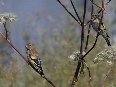 Черноголовый (обыкновенный) щегол (Carduelis carduelis). Скорее всего, это молодые щеглы.  Автор фото: Юрий Семенов