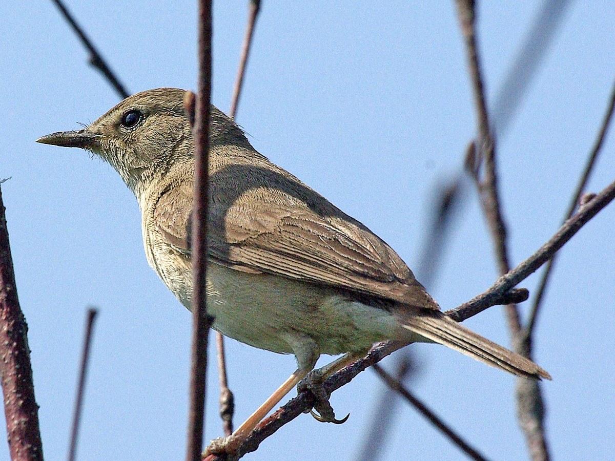 Камышевка (Acrocephalus sp.). Автор фото: Юрий Семенов