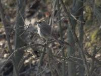 Камышевка (Acrocephalus sp.)