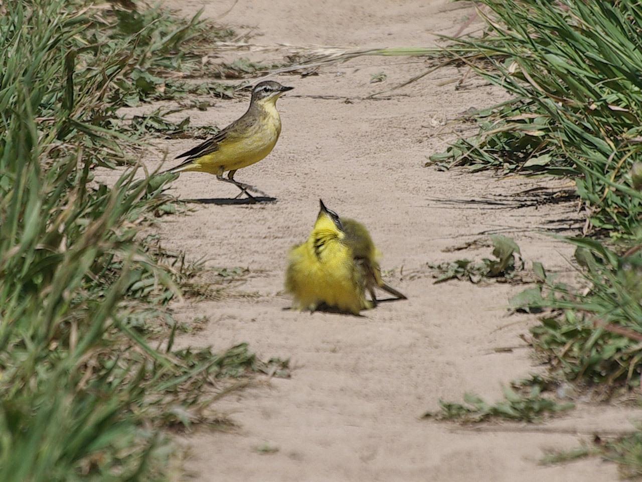 Жёлтая трясогузка (Motacilla flava). Автор фото: Юрий Семенов
